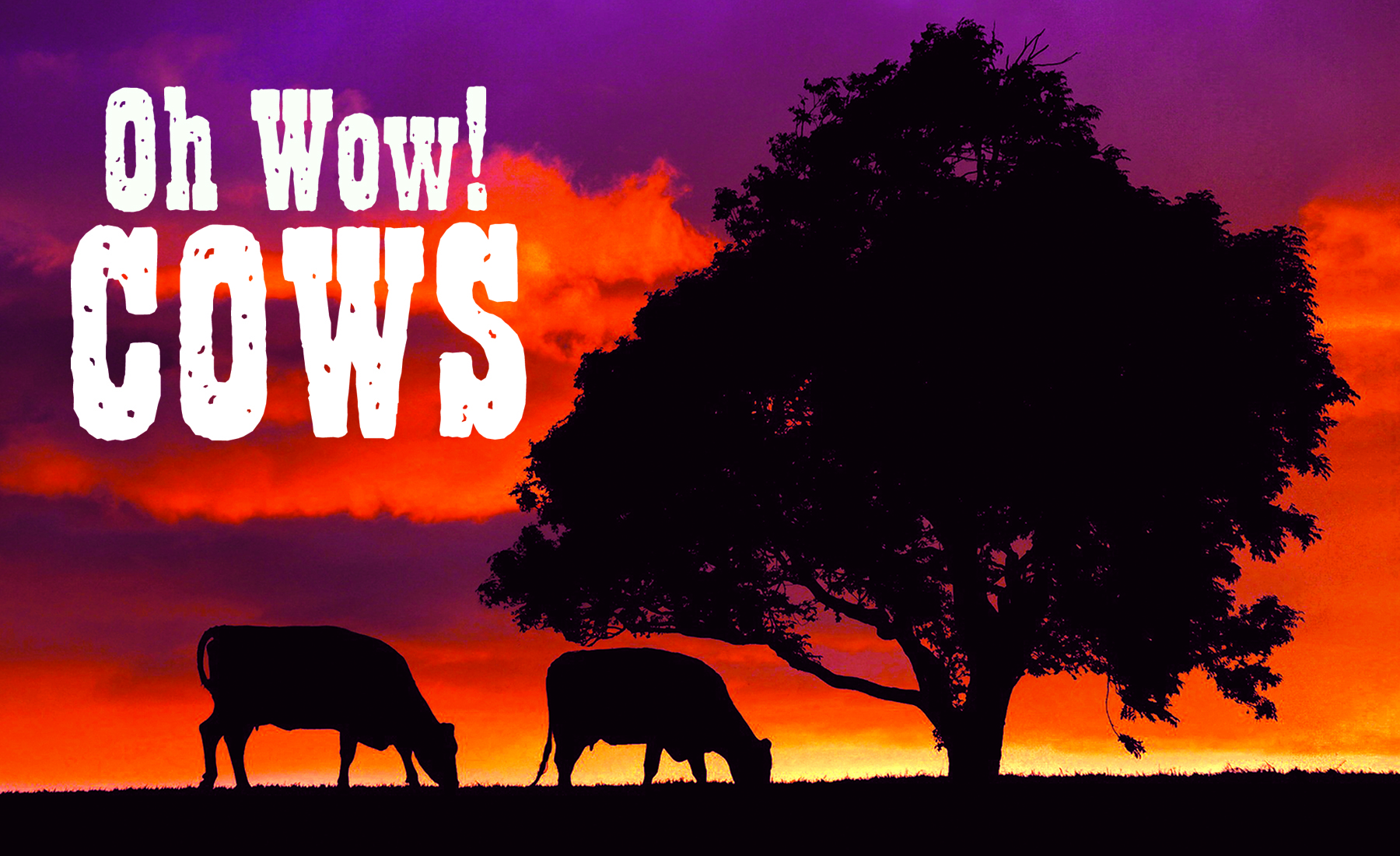 """Oh Wow! Cows"" featured"